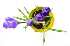 Purple crocus in top view yellow pot Royalty Free Stock Images