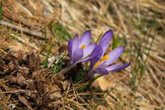 Purple crocus welcoming spring Stock Photography