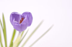 Purple crocus on white Royalty Free Stock Photo