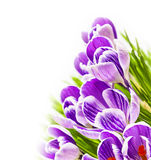 Purple crocus white background Stock Image