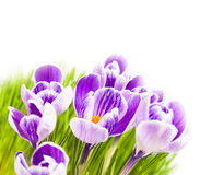 Purple crocus white background Stock Photos