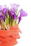 Crocus wild flower plant Stock Photos