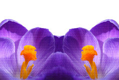Purple Crocuses. An illustration of two symmetric purple Crocus flowers, close up on white background Royalty Free Stock Image