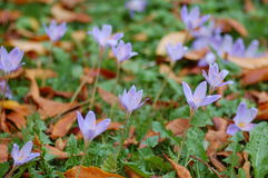 Purple crocuses. In the Park Royalty Free Stock Image
