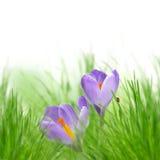 Purple crocuses Stock Photography