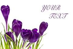 Purple crocuses. On white background Stock Images