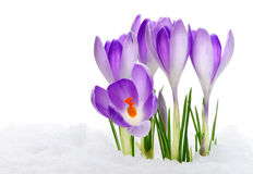 Purple Crocuses Royalty Free Stock Photos