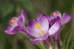 Purple crocuses against green background. Bouquet of purple crocuses with green leaves against blurred green background Stock Photography