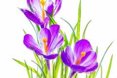 Purple crocuses backlit Stock Photography