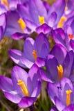Purple crocuses Royalty Free Stock Photo