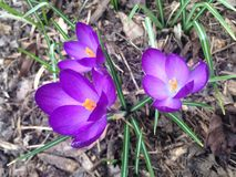 Purple Crocuses Blossoming in Garden in Spring. Royalty Free Stock Images