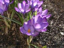 Purple crocuses. Beautiful spring flowers. Purple crocuses. Charmed flowers in sunlight. Beautiful nature stock photos