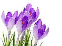 Purple Crocuses close up Royalty Free Stock Photo