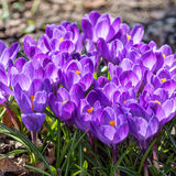 Purple crocuses close up Stock Photography
