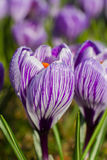 Purple crocuses closeup. Spring landscape. Royalty Free Stock Photos