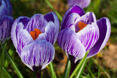 Purple crocuses closeup. Spring landscape. Stock Photos
