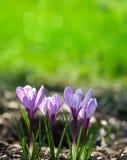 Purple crocuses Stock Image