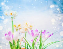 Purple crocuses  and daffodils flowers on blue sky background with bokeh. Stock Image