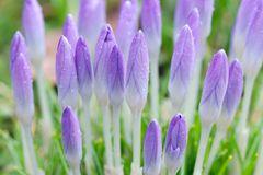 Purple crocuses with drops of water. Closed purple crocuses with drops of water Royalty Free Stock Photos
