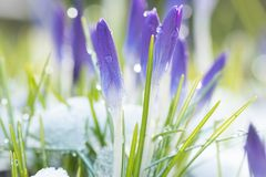 Purple crocuses in early spring Royalty Free Stock Image