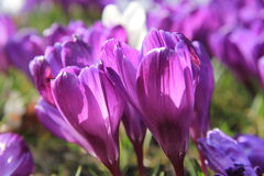 Purple crocuses Stock Photo