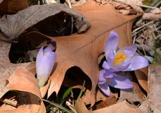 Purple crocuses find the sunshine despite the contours of the dried oak leaf Royalty Free Stock Photo