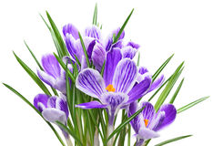 Purple crocuses in a flower pot Stock Image