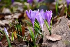 Purple crocuses in the forest. Beautiful springtime scenery on a sunny day Stock Photos