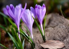 Purple crocuses in the forest. Beautiful springtime scenery on a sunny day Stock Photography