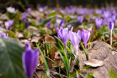 Purple crocuses in the forest. Beautiful springtime scenery on a sunny day Royalty Free Stock Photography