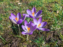 Purple crocuses Royalty Free Stock Images