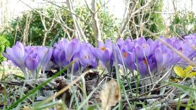 Purple crocuses. In the garden stock video