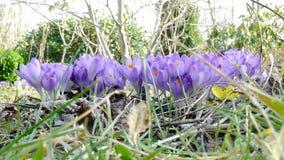 Purple crocuses. In the garden stock video footage