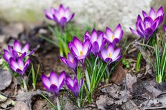 Purple crocuses germinate in the spring in the garden. Symbol. Of spring stock photos