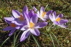 Purple crocuses Royalty Free Stock Image