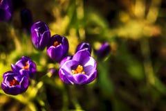 Purple crocuses. Macro shot of purple spring flowers Royalty Free Stock Photos
