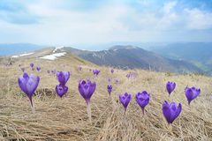 Purple Crocuses in Mountains Stock Photos