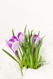 Purple crocuses in snow Royalty Free Stock Images