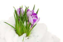 Purple  crocuses in snow Royalty Free Stock Photo