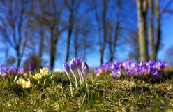 Purple crocuses in spring Royalty Free Stock Images