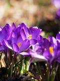 Purple crocuses in spring Royalty Free Stock Image