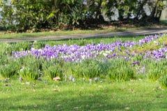 Purple crocuses in spring Royalty Free Stock Photos