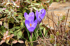 Purple crocuses in spring garden. Big purple crocuses in spring garden Royalty Free Stock Photo