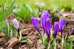 Purple crocuses in spring garden. Stock Images