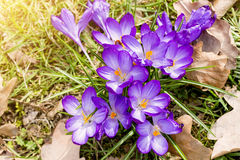 Purple crocuses in spring. Macro of some purple crocuses in spring Royalty Free Stock Image