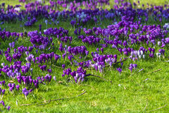 Purple crocuses in spring Stock Photos