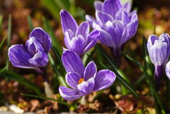 Purple crocuses. In the summer Stock Photo