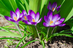 Purple crocuses vernus on the background of greenery Royalty Free Stock Images