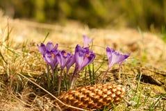 Purple crocuses. Violet crocuses. Royalty Free Stock Photography