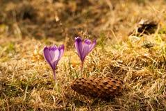 Purple crocuses. Violet crocuses. Stock Images
